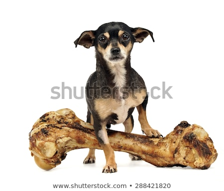 chihuahua with a giant bone posing in a studio Stock photo © vauvau