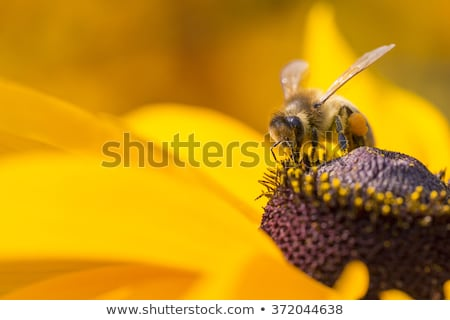 close up photo of a honey bee gathering nectar and spreading pollen stock photo © ankarb