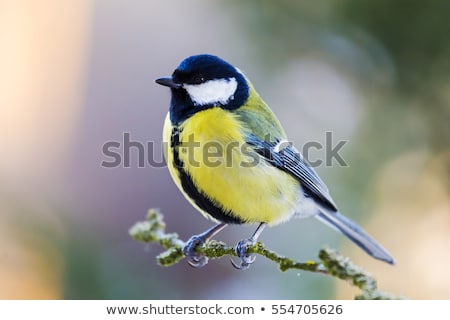 A great tit sitting on a tree branch. Stock photo © justinb