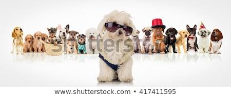 havanese · köpek · yavrusu · oturma · beyaz · elbise · evcil · hayvan - stok fotoğraf © feedough