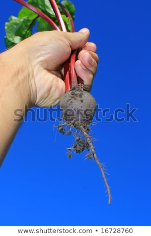 Beetroot aloft Stock photo © naffarts