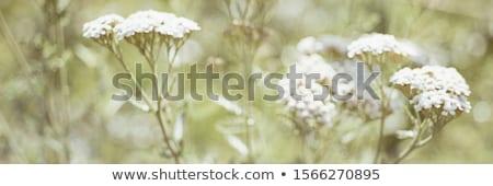 biały · kwiaty · tabeli · kwiat · zielone · muzyka - zdjęcia stock © kidza