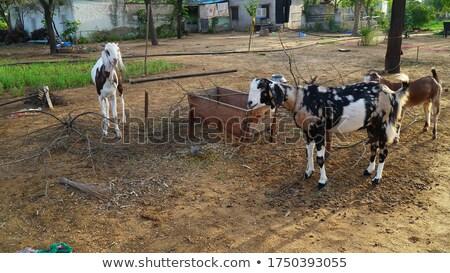 goats feeding stock photo © raywoo