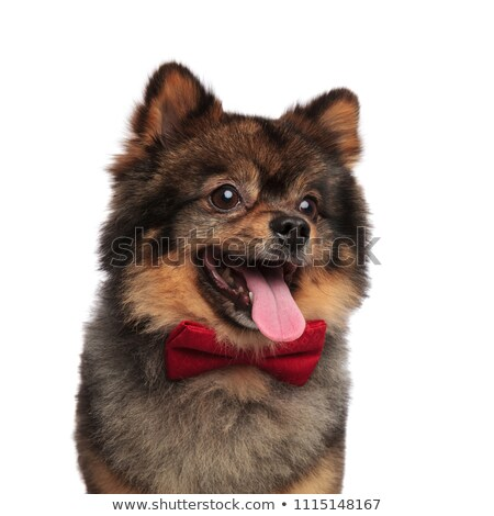 close up of curious pom with red bowtie panting Stock photo © feedough