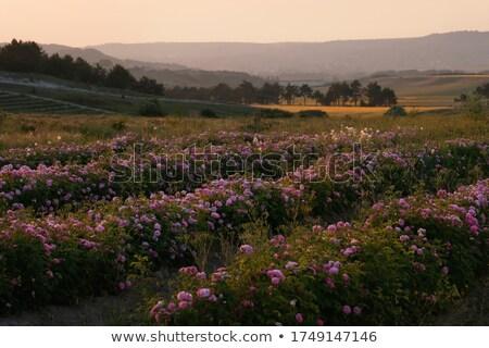 Hermosa vegetales plantación colinas alimentos jardín Foto stock © galitskaya