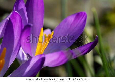Turuncu çiğdem çiçek makro derin mor Stok fotoğraf © sarahdoow