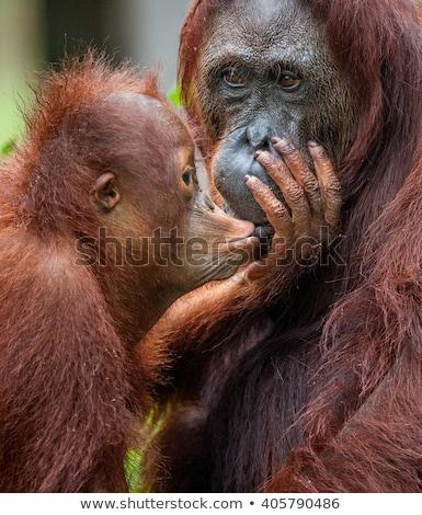 Orangoutang Parent and child Stock photo © bobkeenan