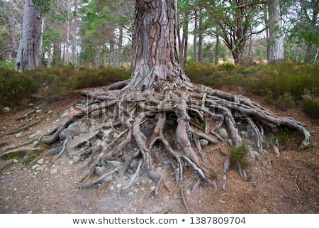 exposed tree roots Stock photo © pancaketom