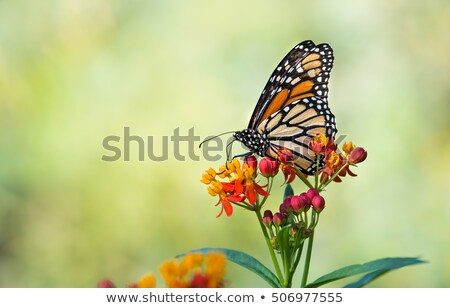 Milkweed butterfly feeding on white flower Stock photo © Ansonstock