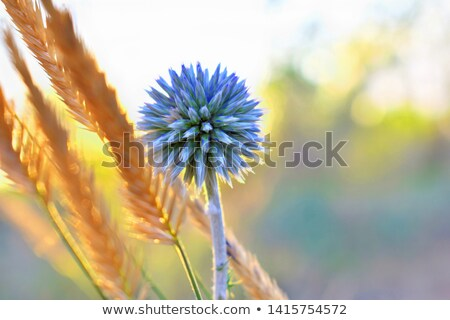 синий гор Франция цветок завода Сток-фото © ldambies