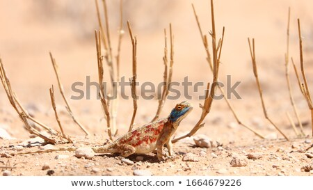 Blue Head Agama lizard Stock photo © poco_bw