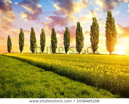 Poplar Tree and Sun Stock photo © skylight
