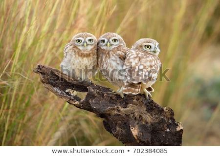 совы семьи дома дерево природы птица Сток-фото © popocorn