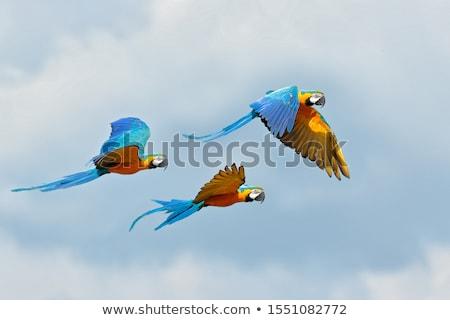 three ara parrots in fly stock photo © ajlber