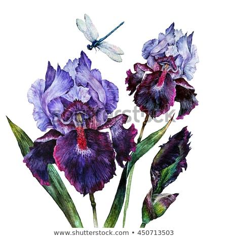 Iris · цветы · весны · свежие · цветок · красочный - Сток-фото © cherju