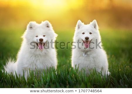 Cão grande branco olho cabelo Foto stock © AlessandroZocc