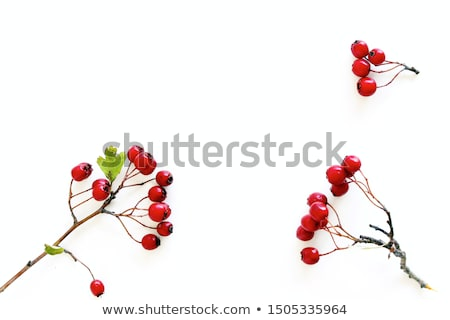 Hawthorn with red berries Stock photo © sarahdoow