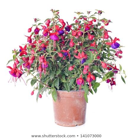 kırmızı · çiçek · tok · çiçeklenme · yaz - stok fotoğraf © julietphotography