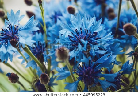blue cornflower green background Stock photo © thomaseder