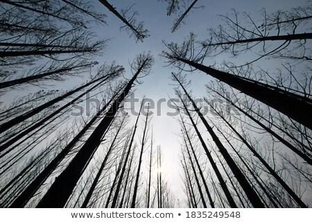 Blackened trees and bushland after bushfire Stock photo © lovleah