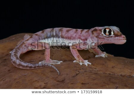 Palmatogecko (Pachydactylus rangei) Stock photo © dirkr