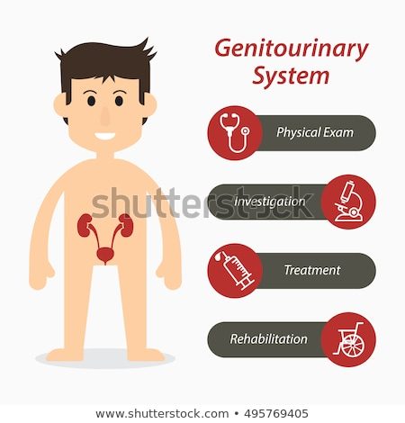 internal organs   urinary system with genitals stock photo © spectral