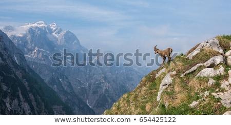 горные коза большой Сток-фото © OleksandrO