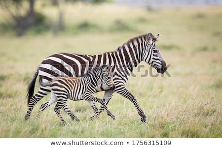 female zebra stock photo © bigknell