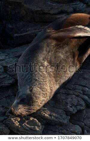 Yeni · Zelanda · kürk · mühürlemek · geri · kayalar - stok fotoğraf © Hofmeester