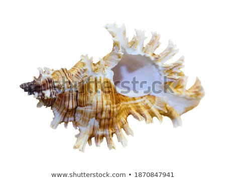 Shell of Murex Saulii or Chicoreus Saulii Stock photo © Yongkiet