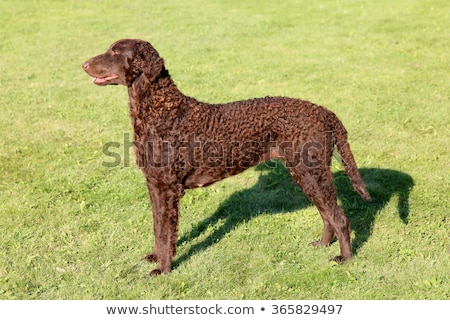 Typical Curly Coated Retriever on a green grass Stock photo © CaptureLight