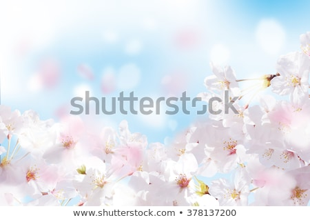 pink sakura blossom spring background stock photo © tetkoren
