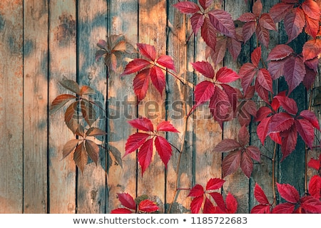 Wooden background with leaves of wild grapes. Stock photo © rrvachov