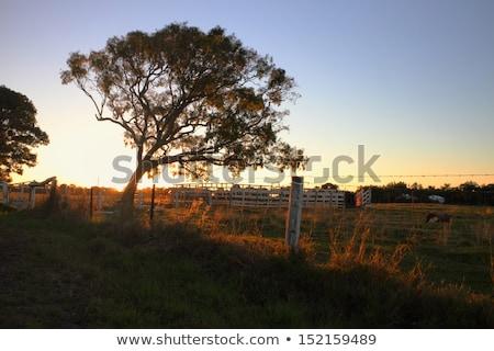 дерево · силуэта · Квинсленд · цветы · облака - Сток-фото © artistrobd