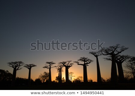 Baobab trees At night Stock photo © tracer