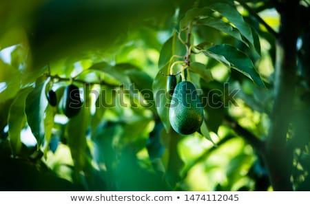 Avocado plants and fruits Stock photo © pakete