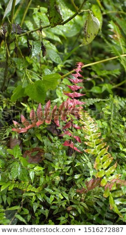young leaf of fern in the jungle in Ecuador Stock photo © meinzahn