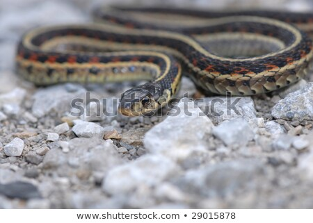 focused garter snake stock photo © ca2hill