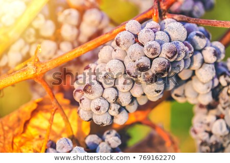 Frosted Grapes and Oranges Stock photo © StephanieFrey