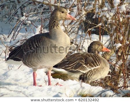Greylag goose on frozen lake Stock photo © bdspn