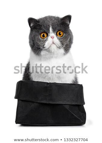 grappig · exotisch · korthaar · vergadering · zwarte - stockfoto © catchyimages