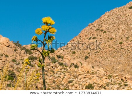 Plantas florescer deserto membro agave família Foto stock © backyardproductions