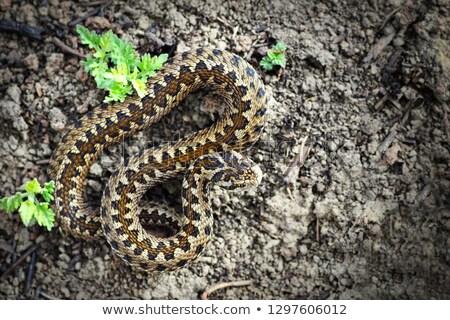 Teljes alakos legelő természetes élőhely kígyó ijesztő Stock fotó © taviphoto
