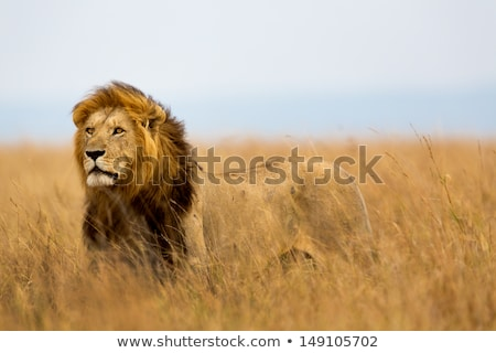 Majestueux lion Safari roi girafes marche Photo stock © jossdiim