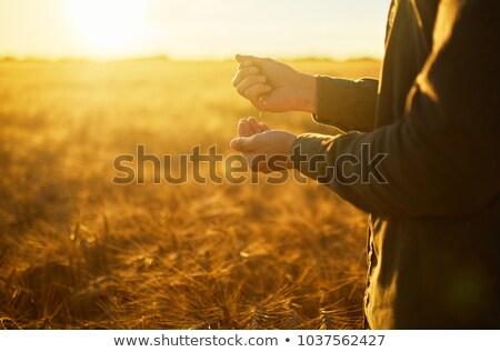 çiftçi eller olgun buğday gıda Stok fotoğraf © nomadsoul1