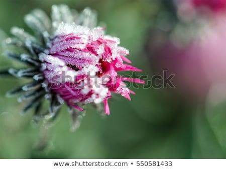 Fagyos virág késő ősz makró hó Stock fotó © elenaphoto