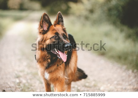 German Shepherd Stock photo © eriklam