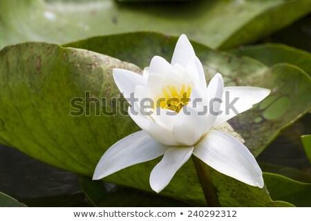 fehér · rügy · tavacska · virág · levél · zöld - stock fotó © qingwa