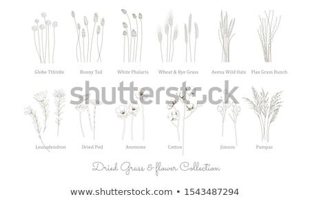 grama · verde · flores · conjunto · isolado · branco · grama - foto stock © adamson