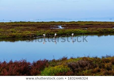 three flamingos walking in a lake stock photo © frank11